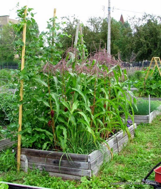 Our Final Stop Of The Day Was At This Small Community Garden. The Lady Who  Tended This Bed Of Corn And Beans, As Well As The Two Beds You Can See  Toward ...
